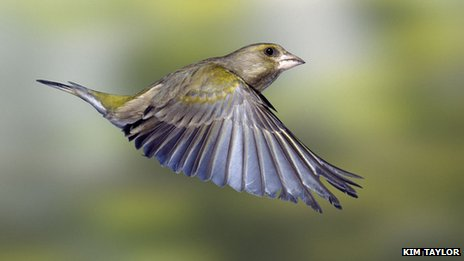 European green finch