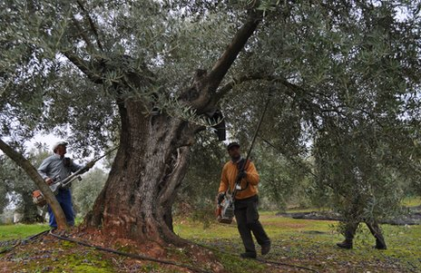 Workers harvest olives in southern Spain