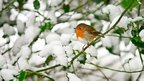 A robin sitting in a holly bush that is covered in snow.