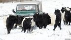 Car and cows in snow