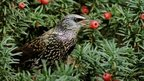 Starling eating a yew berry