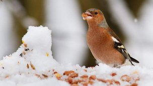 Male chaffinch eating peanut in snow