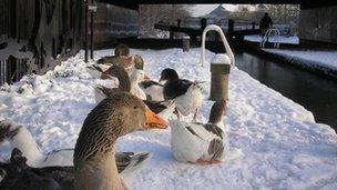 Ducks in Burton
