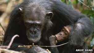 Chimp mother and baby