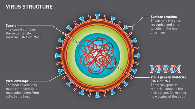 Diagram showing the structure of a virus