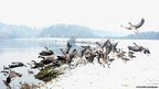 Geese fly on the snow covered banks of the River Trent in Nottingham