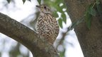 Mistle thrush in a tree