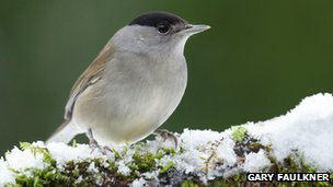 Male blackcap on snowy moss