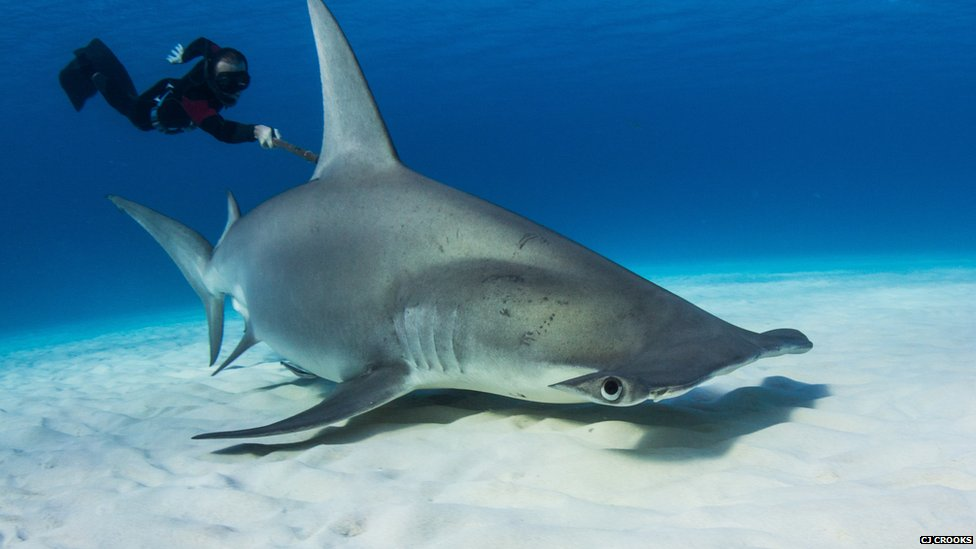 BBC Nature - In Pictures: Tracking hammerheads