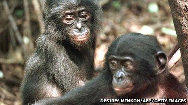 [Image: _65497537_bonobo_chimps_gettyimages.jpg]