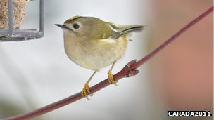 Goldcrest by feeder