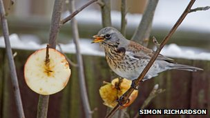 Fieldfare by apples (c) Simon Richardson