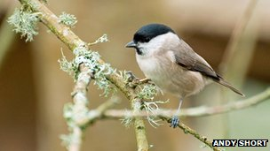 Willow tit (c) Andy Short