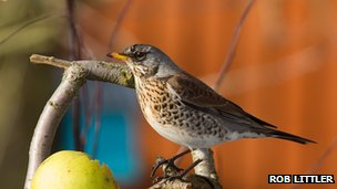 Fieldfare (c) Rob Littler