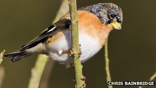 Male brambling (c) Chris Bainbridge