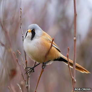 Bearded tit (c) Rob Cross