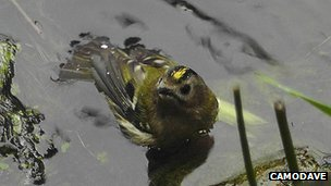 Bath goldcrest