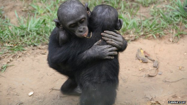 Young bonobos hugging