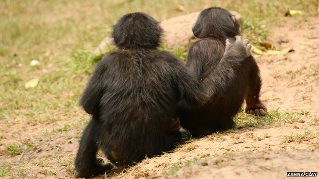 A young bonobo comforts another