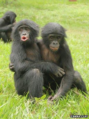 Juvenile bonobos embrace