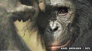 A bonobo