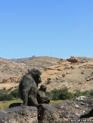 Baboon father and child