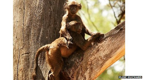 Juvenile chacma baboons - Papio ursinus - in a tree