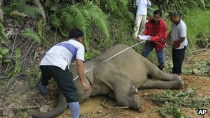Wildlife officials with a dead pygmy elephant in Gunung Rara Forest Reserve (23 Jan 2013)