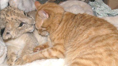 Zara the lion cub with Arnie the cat
