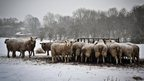 Sheep in a snowy field are gathered round a feeding station. Some of them have snow on their backs and a few are looking directly at the camera.