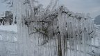 Long icicles hang down from a small tree. Behind is a snowy field.