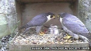 Peregrine falcons nesting in a box at Chichester Cathedral in 2012