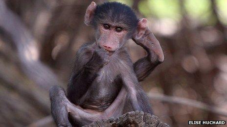 Juvenile baboon - Papio ursinus