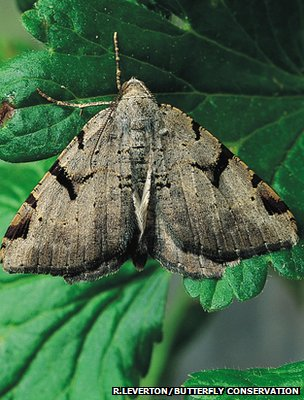 V-moth (Image: Roy Leverton/Butterfly Conservation)