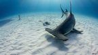A hammerhead swims around fish bait
