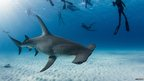 Researchers take photographs of a hammerhead