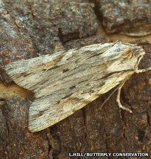 Blair&#039;s shoulder-knot moth (Image: Les Hill/Butterfly Conservation)