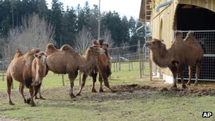 Camels at Rotfelden farm, Germany, 31 January