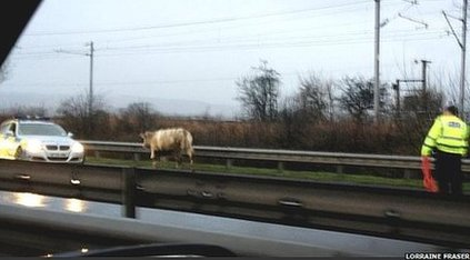 Cow on M8