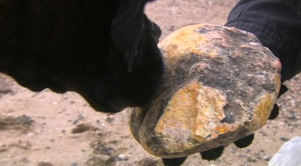 Madge the dog sniffing the yellow rock which could be dried up whale sick