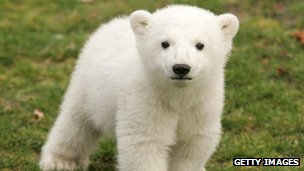 Knut, the polar bear cub