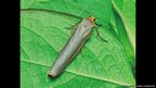 Scarce footman moth