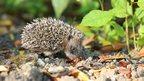 Hedgehog snuffles the ground
