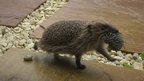 Mother hedgehog relocating hoglets