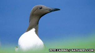 Guillemot
