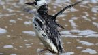 Guillemot flapping wings