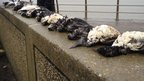 Dead birds at Chesil Cove