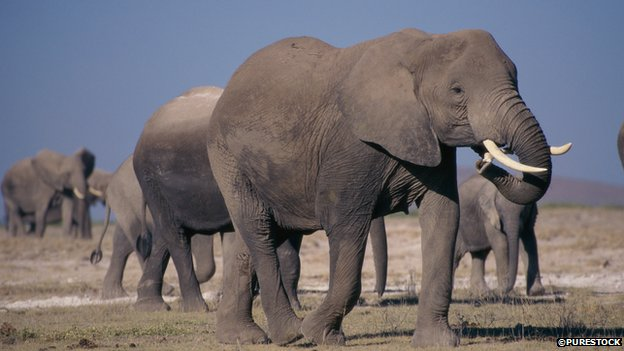 Herd of African elephants