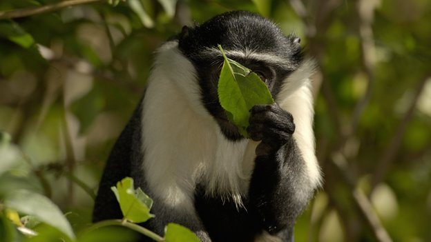 A Diana monkey feeds on a leaf