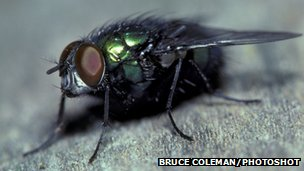 Blow fly Calliphoridae